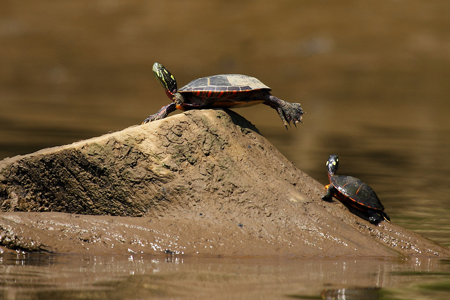 Turtle balance